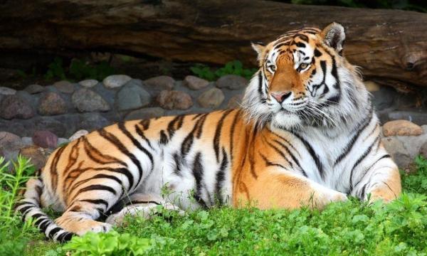 амурский уссурийский тигр