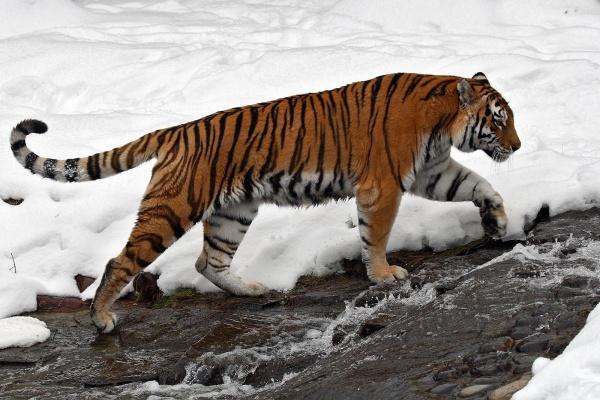 тигр охотится