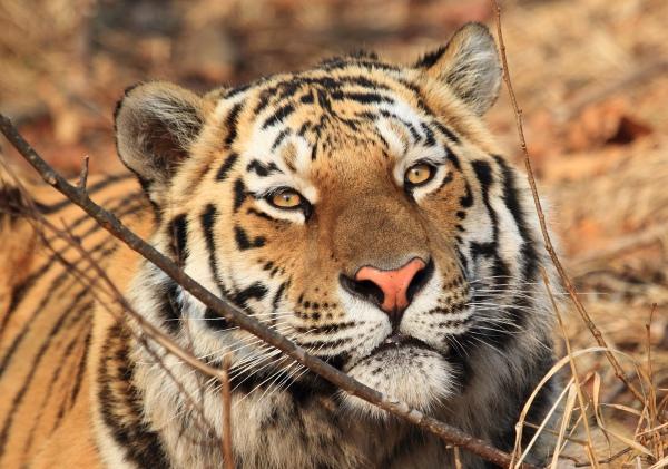 сколько осталось уссурийских тигров