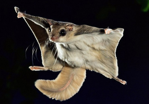 белки летяги