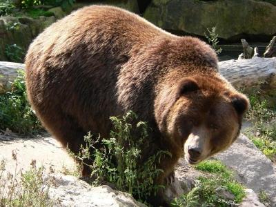 Бурые медведи что едят сколько живут какой имеют вес