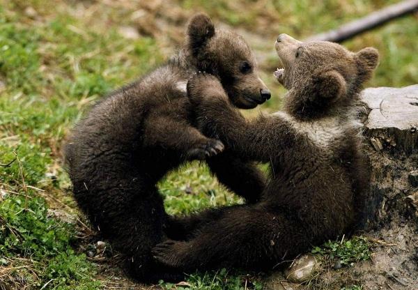 как размножаются медведи