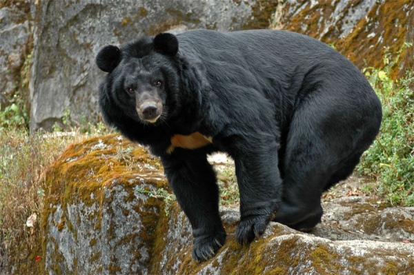 как выглядит медведь