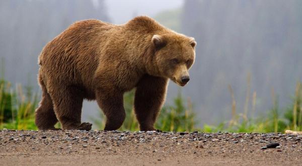 продолжительность жизни медведя