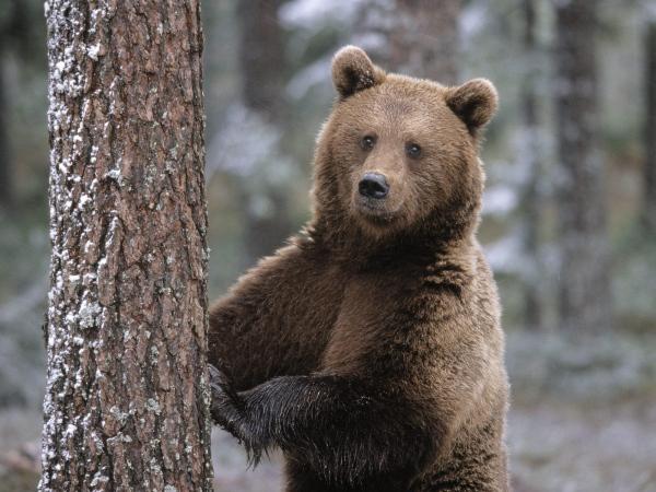 повадки медведей