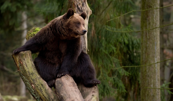 спячка медведя