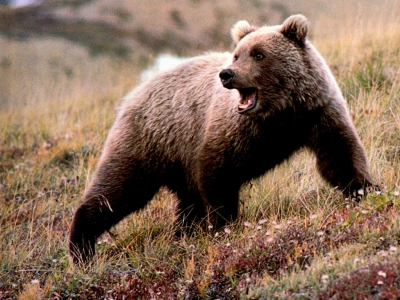 Что делать при встрече с медведем: советы бывалых охотников