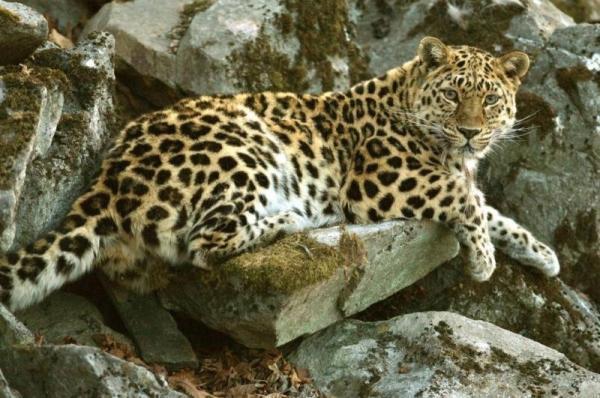 дальневосточный амурский леопард