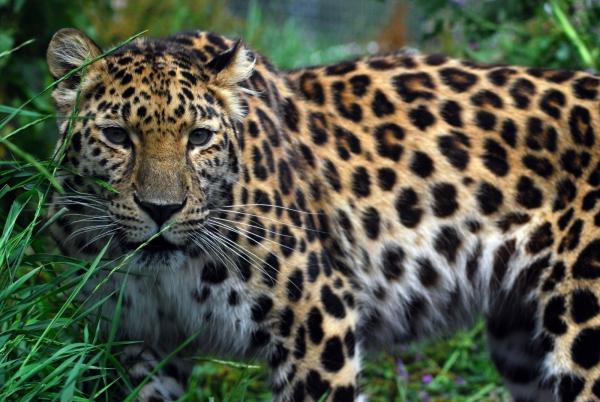 приморский леопард