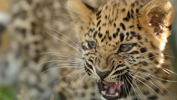 сохранение леопарда