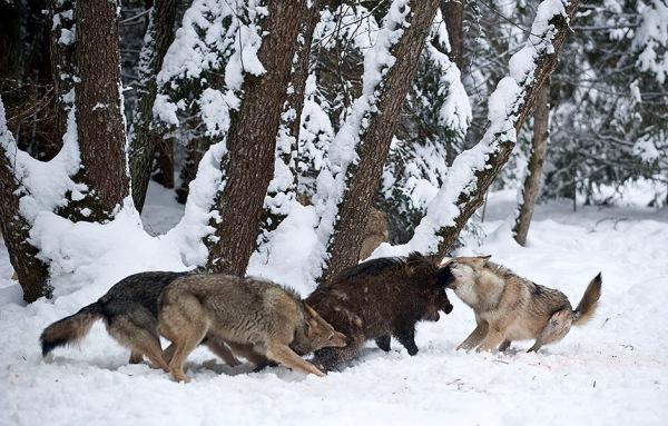 волки охотятся на кабана