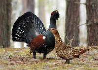 Птица глухарь: где живет, чем питается, как токует, чем отличаются самец и самка
