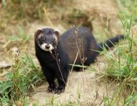 Хорек дикий - виды и их описание: как выглядят, где живут, чем питаются