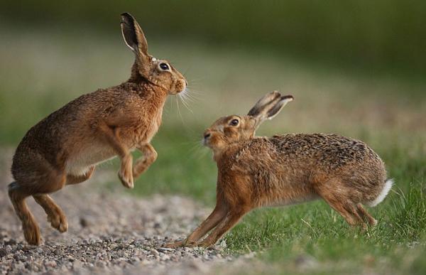 спаривание зайцев
