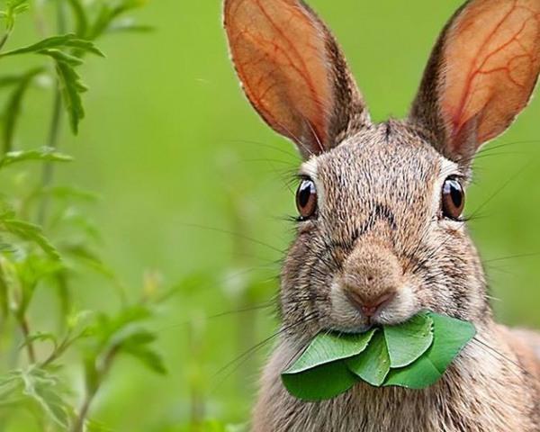 что ест заяц