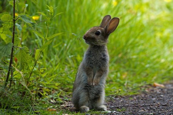 описание зайца