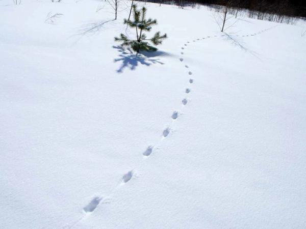 следы лисы