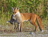 Лиса рыжая (красная) и другие виды лисиц: где живут, чем питаются, описание повадок