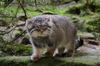 Палласов кот (дикий манул): как выглядит, где обитает, чем питается; Красная книга