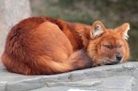 Красный волк (горный) - описание: как выглядит, где обитает, чем питается