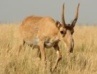Сайгак (сайга) - антилопа из Красной книги: как выглядит, где живет, чем питается