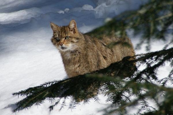 дикий кот