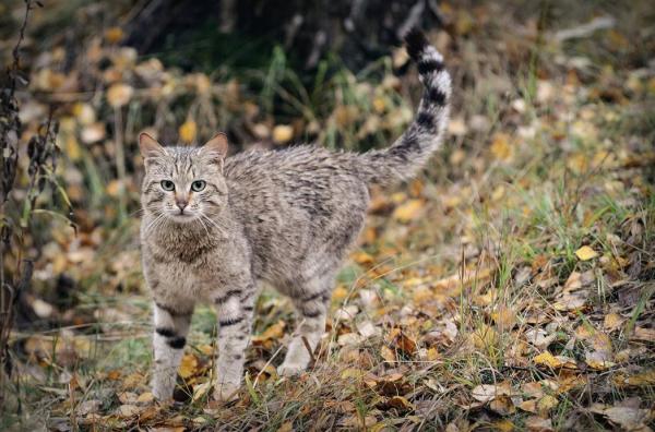 кавказский кот