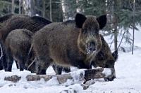 Кабан в лесу: где живет, чем питаются и как спастись от него при встрече