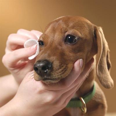 Кровоизлияние в глаз у собаки