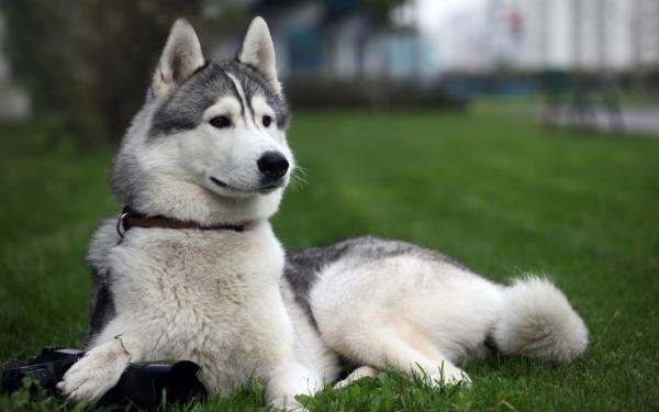 собака для охоты