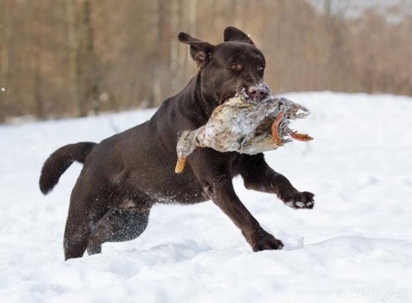 охота с лабрадором