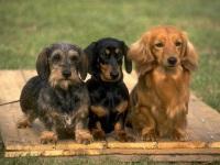 Маленькие охотничьи собаки - обзор пород: таксы, бигли, спаниели, терьеры, бассеты