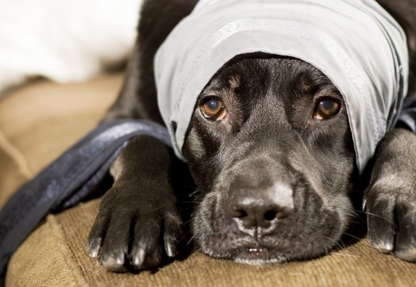 воспаление уха у собаки