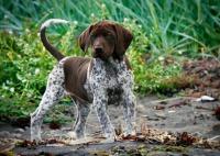 Курцхаар для охоты: уход, кормление, дрессировка, воспитание, натаска собаки