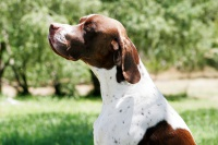 Пойнтер - порода собак для охоты: содержание английских и немецких пойнтеров