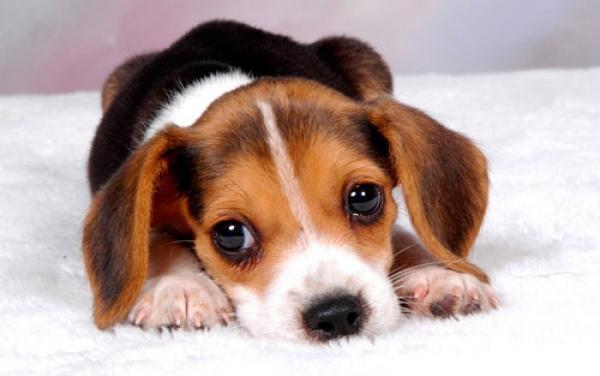 рахит у собаки