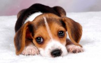 Рахит у собаки или щенка: симптомы, причины, эффективные методы лечения