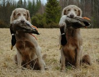 Обучение охотничьих собак командам: правила дрессировки щенков для охоты