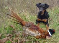 Охота с ягдтерьером на кабана, зайца, лису: описание породы, дрессировка и притравка