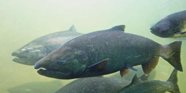 Чавыча – царственная рыба