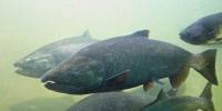 Рыба чавыча где обитает и чем полезна