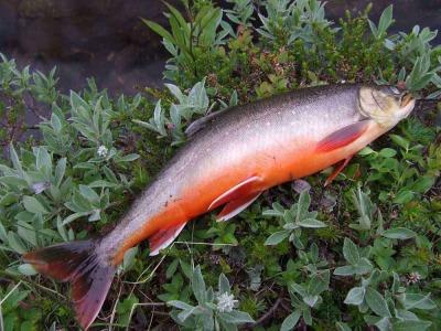О полезных свойствах красной рыбы голец