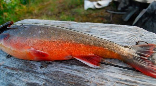 как засолить рыбу голец в домашних условиях