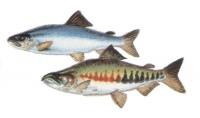 Рыба кета: состав и полезные свойства, противопоказания и вред, кулинарная обработка
