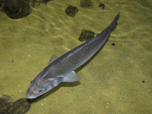 сибас рыба