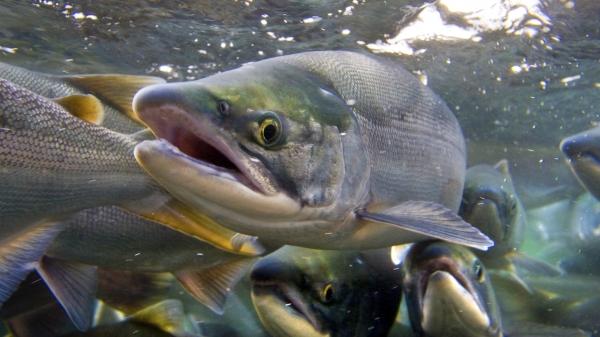 лососевые виды рыб