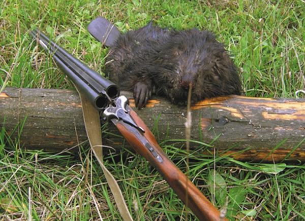 охота на бобра