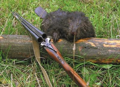 Когда разрешена охота на бобра сроки открытия и закрытия