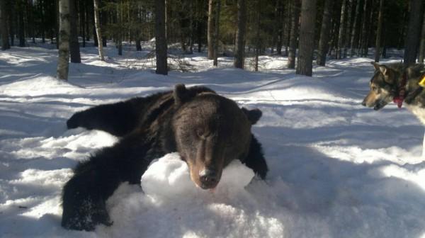 Охота на медведя с ножом