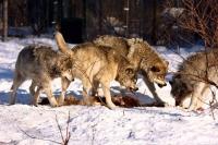 Охота на волка с флажками, на вабу: тактика, особенности, эффективность